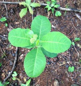 Asclepias variegata - Milo Pyne