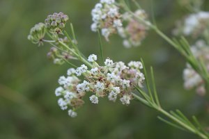 Asclepias verticillata - Ashley B. Morris