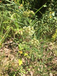 Asclepias verticillata - Tara Littlefield