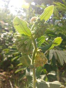 Asclepias viridiflora - Alaina Krakowiak