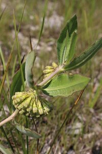 Asclepias viridiflora - Ashley B. Morris