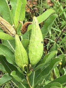 Asclepias viridis - Milo Pyne
