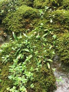 Asplenium rhizophyllum - Joey Shaw