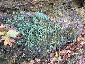 Asplenium rhizophyllum - Tara Littlefield