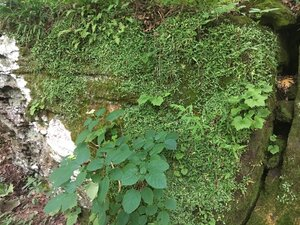Asplenium rhizophyllum - Theo Witsell