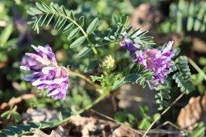 Astragalus bibullatus - Ashley B. Morris