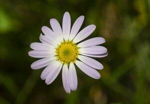 Astranthium integrifolium - Margie Hunter