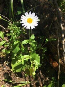Astranthium integrifolium - Tara Littlefield