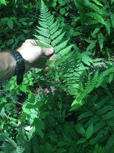 Athyrium asplenioides - Joey Shaw