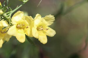 Aureolaria flava - Ashley B. Morris