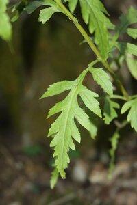 Aureolaria patula - Dwayne Estes
