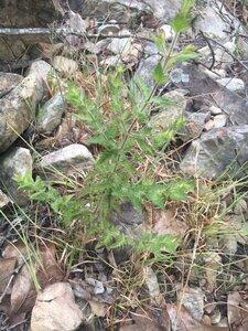 Aureolaria pectinata - Theo Witsell