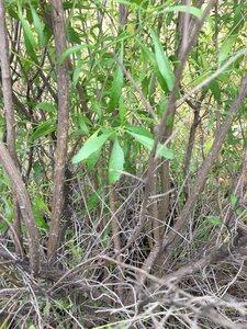 Baccharis halimifolia - Joey Shaw