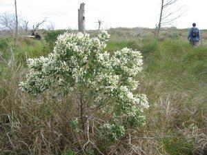 Baccharis halimifolia - Tara Littlefield