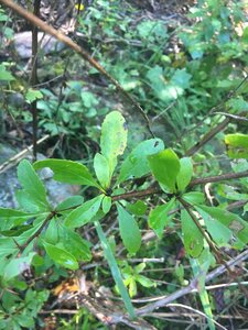 Berberis canadensis - Theo Witsell