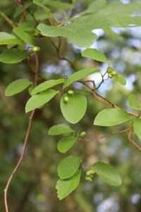 Berchemia scandens - Ashley B. Morris