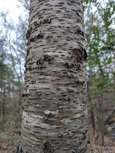 Betula alleghaniensis - Alaina Krakowiak