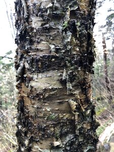 Betula alleghaniensis - Ashley B. Morris