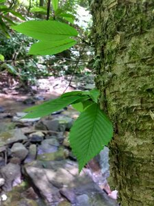 Betula alleghaniensis - Dwayne Estes