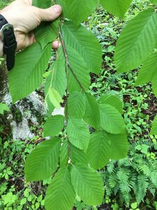 Betula alleghaniensis - Joey Shaw