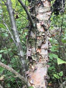 Betula nigra - Dwayne Estes