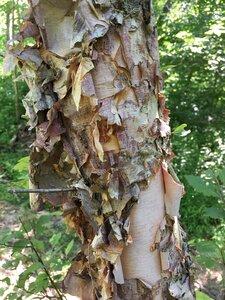 Betula nigra - Joey Shaw