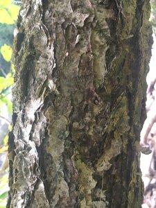 Betula nigra - Theo Witsell