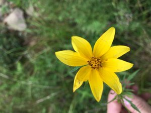 Bidens aristosa - Joey Shaw