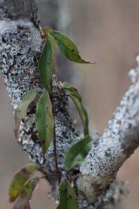 Bignonia capreolata - Ashley B. Morris