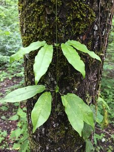 Bignonia capreolata - Joey Shaw