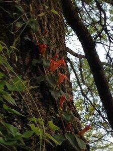 Bignonia capreolata - Milo Pyne
