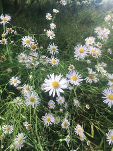Boltonia asteroides var. recognita - Theo Witsell