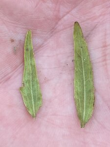 Brickellia eupatorioides - Dwayne Estes