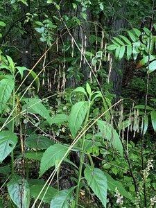 Bromus pubescens - Dwayne Estes