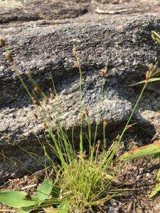 Bulbostylis capillaris ssp. capillaris - Dwayne Estes