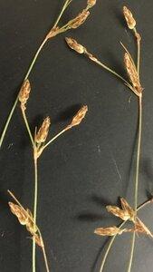 Bulbostylis capillaris ssp. capillaris - Theo Witsell