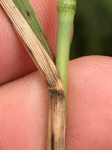 Calamagrostis coarctata - Joey Shaw