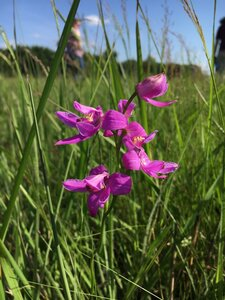 Calopogon oklahomensis - Theo Witsell