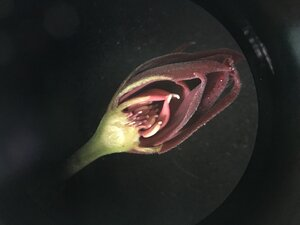 Calycanthus floridus - Joey Shaw