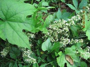 Calycocarpum lyonii - Milo Pyne