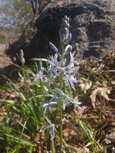 Camassia scilloides - Alaina Krakowiak