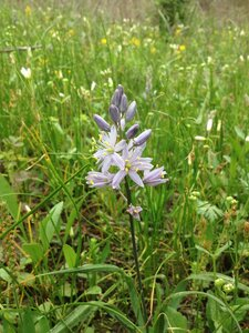 Camassia scilloides - Theo Witsell