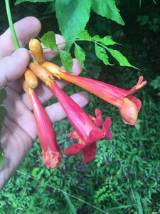 Campsis radicans - Joey Shaw