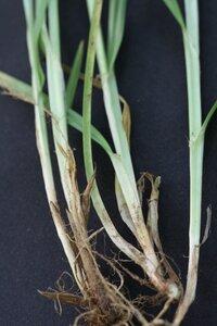 Carex amphibola - Dwayne Estes