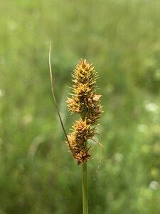 Carex annectens - Dwayne Estes