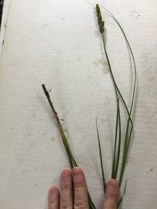 Carex annectens - Joey Shaw