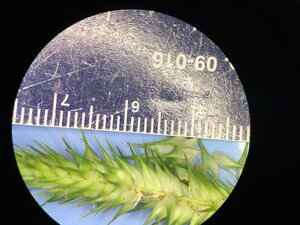 Carex aureolensis - Joey Shaw