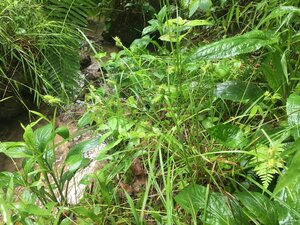 Carex baileyi - Tara Littlefield