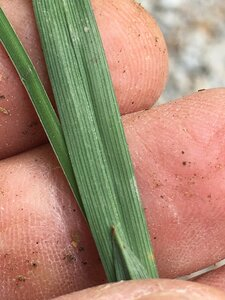 Carex blanda - Joey Shaw