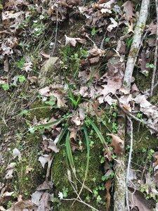 Carex careyana - Tara Littlefield